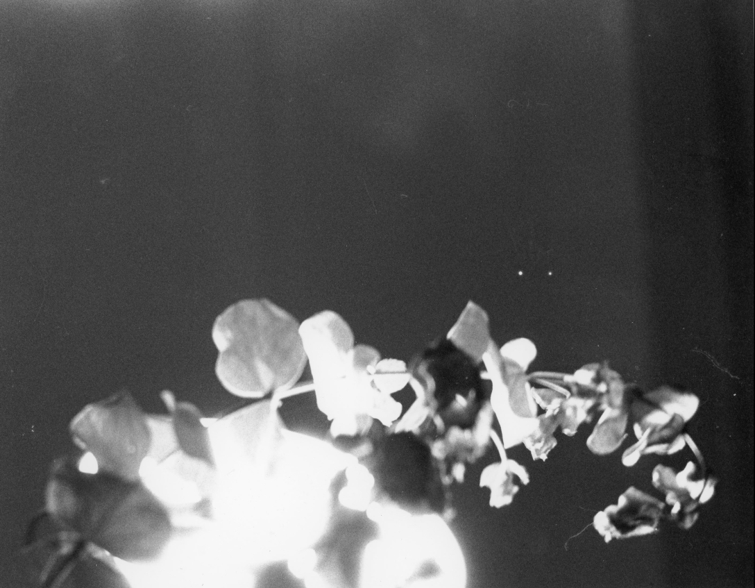 Black and White Film picture of flowers and light